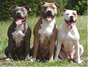 On Dec. 3, the Chesterfield City Council will vote on allowing breed-specific dogs, pitbulls, in dog parks such as Eberwein Dog Park. Currently, pitbulls are classified in the