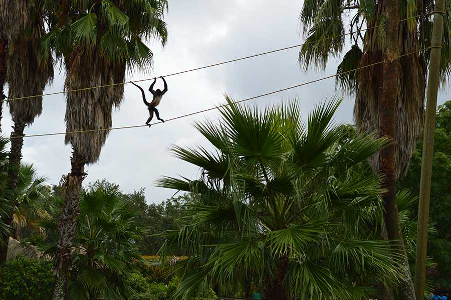 When+exiting+the+Bioparque+Estrella+Park%2C+senior+Nathan+Rands+sees+a+monkey+on+the+high+ropes.++Later%2C+the+monkey+climbed+down+and+rested+on+a+rock+right+next+to+the+adjacent+paddle-boaters.+