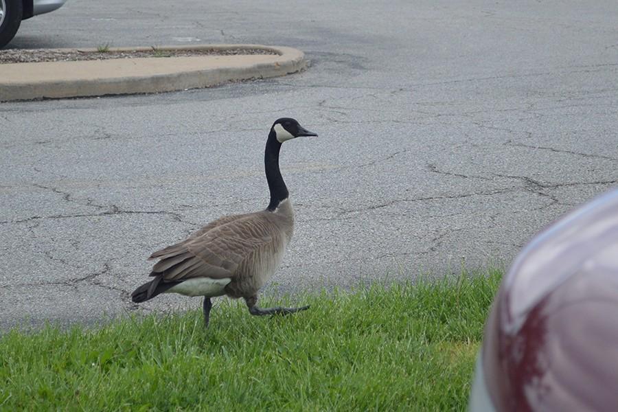 Meet the Geese